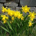 Spring-flowers-daffodils