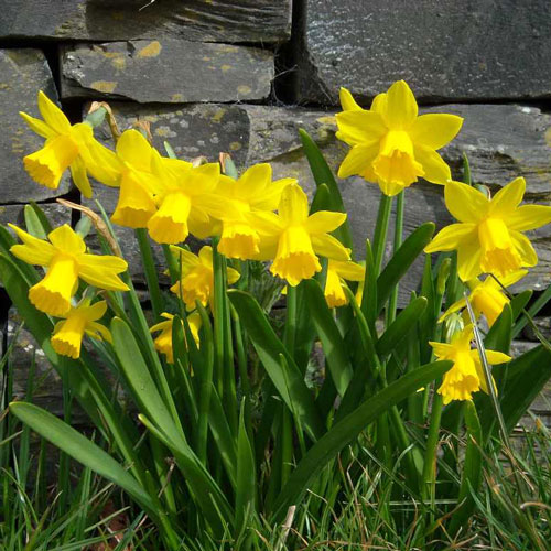 Are your spring flowers toxic to your pets wvc spring flowers daffodils mightylinksfo