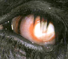 clinical_signs_of_pink_eye3