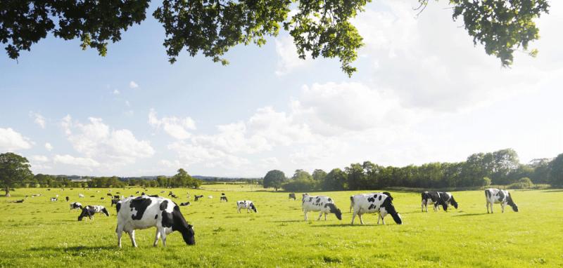 shady_cows
