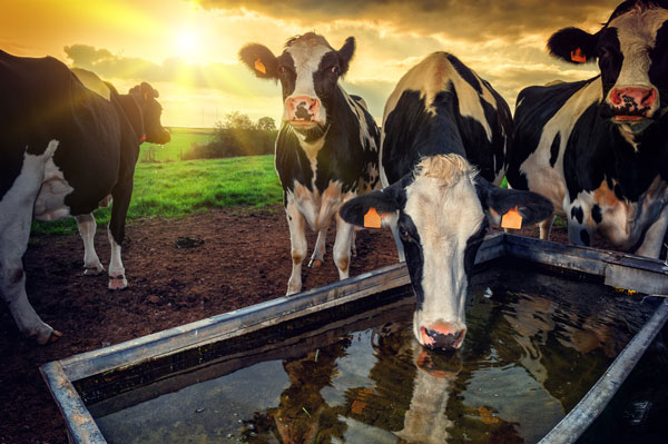 Are Your Cows Thirsty? | WVC