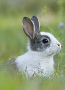 baby_rabbit