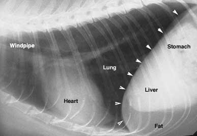 Abnormal Xray In Dogs Or Cats