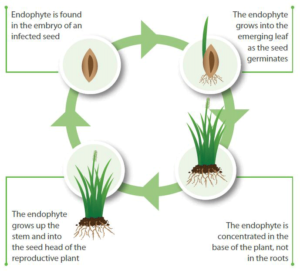 Endophyte-lifecycle